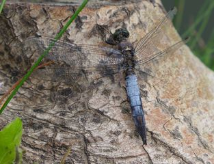 Libelle - Großer Blaupfeil #1 - Libelle, Sommer, fliegen, Flügel, Hautflügel, Insekten, Gliederfüßler, Insekt, Flügelpaar, Gewässer, Großer Blaupfeil, Orthetrum cancellatum, Großlibelle