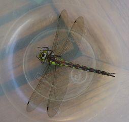 Libelle - Großer Blaupfeil #2 - Libelle, Sommer, fliegen, Flügel, Hautflügel, Insekten, Gliederfüßler, Insekt, Flügelpaar, Gewässer, Großer Blaupfeil, Orthetrum cancellatum, Großlibelle