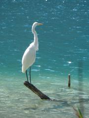 Silberreiher  #1 - Vogel, Schreitvogel, Reiher, Silberreiher, Tagreiher, Casmerodius albus
