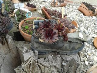 Blumentopf einmal anders - Sukkulenten, Sempervivum, Hauswurz