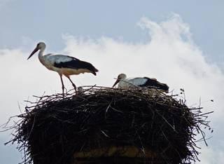 Storchenfamilie im Nest - Storch, Störche, fliegen, Luft, Zugvogel, Federn, weiß, schwarz, Schnabel, Schwingen, Adebar, Weißstorch, Nest, Schreitvogel, Brutpflege, Dach, Zugvogel