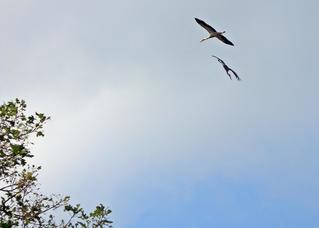 zwei fliegende Störche - Storch, fliegen, Luft, Zugvogel, Federn, weiß, schwarz, Schnabel, Schwingen, Adebar, Weißstorch, Flug, Flugbild, Segelflug