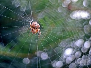 Aug in Aug mit der Spinne - Spinne, Kreuzspinne, Spinnennetz, Webspinne, Radnetzspinne, Gliederfüßer, Spinnentier, räuberisch, warten, beobachten