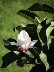 Blüte der Magnolie - Magnolie, Tulpenbaum, Sommer, Blüte, blühen, rosa, zart, Laub, Blatt, tulpenähnlich, Ziergehölz, Tulpe, Frühling, Frühjahr