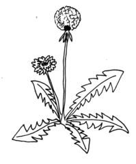 Löwenzahn - Löwenzahn, Pusteblume, Kuhblume, Blumen, Kräuter, Anlaut L