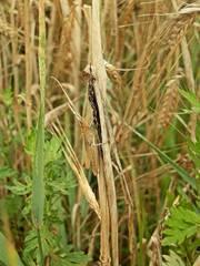 Feldgrashüpfer  (Chorthippus apricarius, syn. Glyptobothrus apricarius) - Grashüpfer, Heuschrecke, Heuschrecken, Insekten, Gras, Sommer, Kurzfühlerschrecke, Tarnung, Suchbild, Rätsel