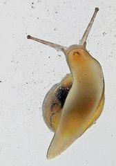Schnecke beim Fressen - Schnecke, Weichtier, Gastropoda, Wasser, Schneckenhaus, Gehäuse, Fühler, Auge, Mund, langsam, Mollusca, Kopffuß, Adhäsion, Physik