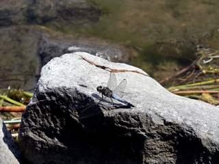 Libelle - Großer Blaupfeil #1 - Libelle, Sommer, fliegen, Flügel, Hautflügel, Insekten, Gliederfüßler, Insekt, Flügelpaar, Gewässer, Großer Blaupfeil, Orthetrum cancellatum