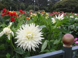 Dahlie - Dahlien, Dahliengarten, Blütenpracht, Blumen, Blüte, Blumengarten, Park, Dahlie, Sommerblume, Korbblütengewächs, Korbblüte, Knolle, Knollengewächs, Blume, bunt, blühen