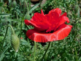 Mohn - Blüte und Knospe - Mohn, Klatschmohn, Blüte, Knospe, Kontrast, Gegenteil, behaart, rot, grün
