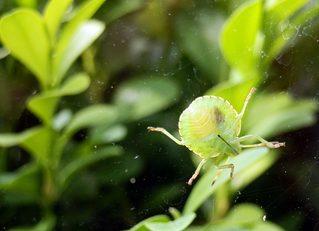 grüne Blattwanze - Insekt, Pflanzensaftsauger, grün, Wanze, Blattwanze, Schnabelkerfe, schildförmig, Heteroptera, Rhaphigaster nebulosa, Pentatomidae