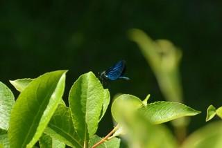 Blauflügel-Prachtlibelle - Insekt, Insekten, Libelle, Flügel, Hautflügel, Gliederfüßler