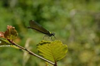 Libelle aus Kroatien - Insekt, Insekten, Libelle, Flügel, Hautflügel, Gliederfüßler