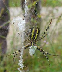 Zebraspinne #1 - Spinne, Spinnentiere, Zebraspinne, Wespenspinne, Seidenbandspinne, Argiope bruennichi