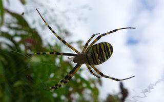Zebraspinne #2 - Spinne, Spinnentiere, Zebraspinne, Wespenspinne, Seidenbandspinne, Argiope bruennichi