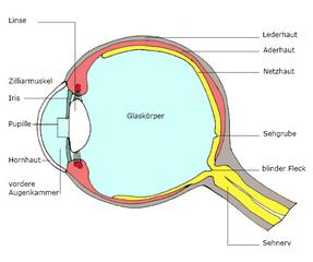 Auge Querschnitt beschriftet - Auge, sehen, Anatomie, Qerschnitt, Optik, Sehnerv, Sinne, Sinnesorgan