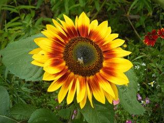 Sonnenblume - Sonnenblume, Blume, Spätsommer, Herbst, Korbblütler, Blüte