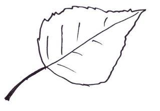 Birkenblatt - Birke, Blatt, Birkenblatt, Laub, Blätter, Herbst, Laubbaum, Anlaut B