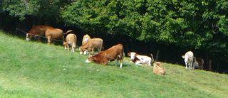 Kuh  - Kuh, Rindvieh, Natur, Tier, Nutztier, Milch, Fleckvieh, Wiederkäuer