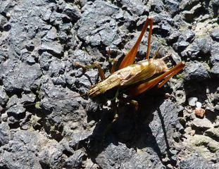 Grille - Insekten, Insekt, Geradflügler, Grille, Werre