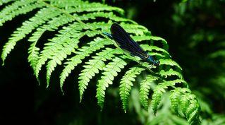 Libelle - Libelle, Sommer, fliegen, Flügel, Hautflügel, Biologie, Insekten, Gliederfüßer, Insekt, Flügelpaar, Gewässer, Teich, Tümpel, Calopteryx virgo