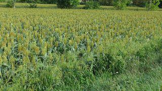 Hirsefeld - Hirse, Nahrungsmittel, Getreidepflanze, poaceae, Rispenhirse, Panicum miliaceum, Hirsefeld
