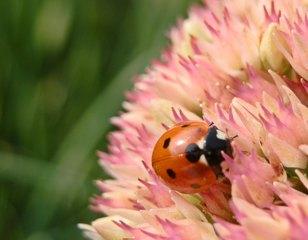 Marienkäfer - Marienkäfer, Insekten, Glück, Symbol, Käfer, Coccinellidae, Rot, Nützling, nützlich, Punkte