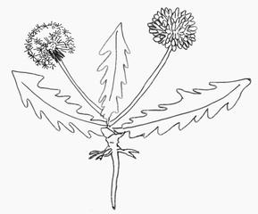 Löwenzahn - Löwenzahn, Wurzel, Pfahlwurzler, Wiesenblume, Pusteblume, Wurzel, Blatt, Blüte