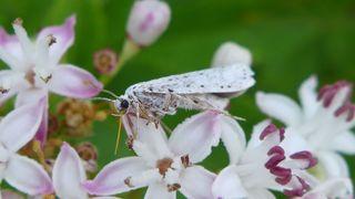 Falter: Traubenkirschen-Gespinstmotte - Yponomeuta evonymella, Schmetterling, Nachtfalter, Gespinstmotte, Knospenmotte, Yponomeutidae
