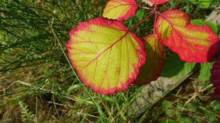 Brombeerblatt - Brombeeren, Blätter, Rosengewächs, Heilpflanze, Waldrand, Kletterpflanze, Blätter, Heilpflanze, Brombeere, Chlorophyll, Herbst, bunt
