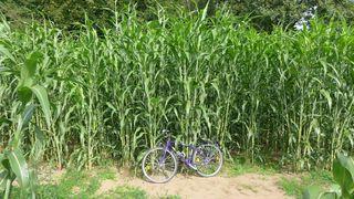 Maispflanzen - Landwirtschaft, Mais, Maisfeld, Maispflanze, Maispflanzen, Feldrand, Biosprit, Kukuruz, Stängel, Stiel, Kolben, Futter, Tierfutter, Nahrungsmittel, Landwirtschaft, Anbau, Rohstoff, nachwachsend, Biogas