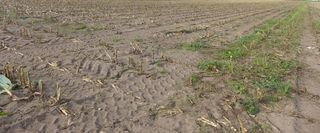 Maisfeld - Landwirtschaft, Mais, Maisfeld, Maispflanze, Maispflanzen, Feldrand, Kukuruz, Stängel, Stiel, Tierfutter, Nahrungsmittel, Landwirtschaft, Anbau, Ernte