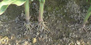 Mais - Landwirtschaft, Mais, Maisfeld, Maispflanze, Maispflanzen, Kukuruz, Stängel, Stiel, Futter, Tierfutter, Nahrungsmittel, Landwirtschaft, Anbau, Wurzel, Ernte