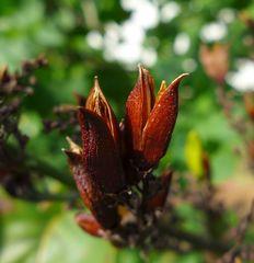 Flieder #1 - Flieder, Lippenblütengewächs, Ölbaumgewächs, Zierstrauch, Heilpflanze, Fruchtstand, Herbst, Kapselfrucht