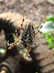 Kreuzspinne#1 - Spinne, Kreuzspinne, Tier, Spinnennetz, Webspinne, Radnetzspinne