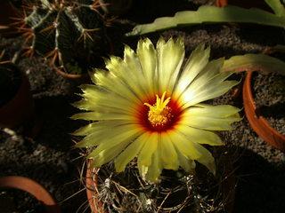 Kaktusblüte - Kaktus, Blüte, blühen, Säulenkaktus, Stacheln, Sukkulent
