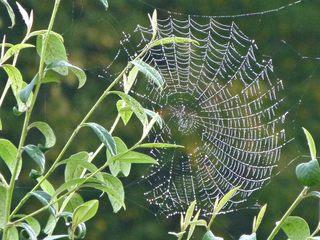 Spinnennetz mit  Morgentau - Natur, Spinne, Spinnennetz, Beutefang, Fäden, Spinnenseide