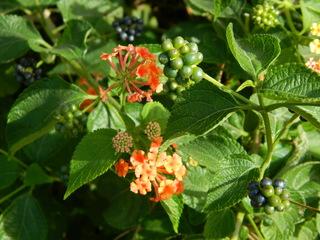 Wandelröschen#2 - Wandelröschen, Eisenkrautgewächse, Lantana camara, Blüten, orange, gelb, Strauch, Beeren, blauschwarz