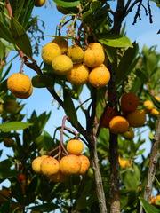 Erdbeerbaum#3 - Erdbeerbaum, Frucht, Heidekrautgewächs, Schnaps, Konfitüre