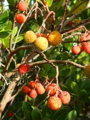 Erdbeerbaum#4 - Erdbeerbaum, Frucht, Heidekrautgewächs, Schnaps, Konfitüre