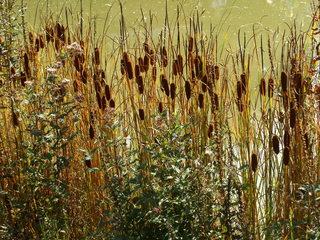 Rohrkolben - Rohrkolben, Lampenputzer, Schlotfeger, Sumpfpflanze, Feuchtgebiet, Wasser, Wasserpflanze
