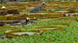 Graureiher - Gefieder, Standvogel, Schreitvogel, grau, Fischreiher, Tarnung, Teich, Seerosenteich, Seerosenblatt, Balance