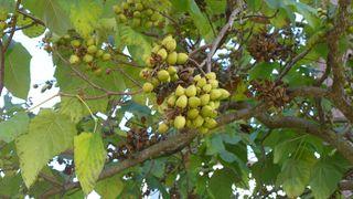 Blauglockenbaum - Blauglockenbaum, Kaiserbaum, Paulownia, Paulownia catalpifolia, Paulownie, Kaiser-Palownie, Zierbaum