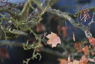 Ahornblatt - Herbst, hernstlich, Herbstlaub, Ahorn, Blatt, Laub, bunt, Moos, Ast, Zweig, Nase, Frucht, Abschied, Metapher, Eindruck, Impression