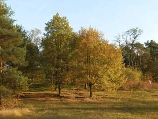 Bäume des Waldes im Herbst - Laubbaum, Laubbäume, Baum, Bäume, Herbst, Jahreszeit, Wald, Nadelbaum, Nadelbäume, bunt, grün, Nadelkleid, immergrün, Busch, Eiche, Kiefer, Laub, Blätterfall, Wechsel, wechseln, Veränderung, verändern