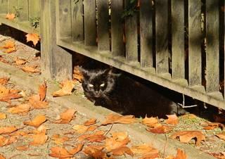 Schwarze Katze - Herbst, Herbstlaub, Katze, Kater, schwarz, Licht, warm, herbstlich, Jahreszeit, Haustier, unter, Wortschatz, Präposition, Substantiv, Nomen