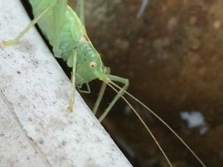kleines Monster? - Heupferd, Heuschrecke, Grashüpfer, grün, springen, Insekt, Insekten, Fühler, fliegen, zirpen, wechselwarm, nachtaktiv, punktierte Zartschrecke, Leptophyes punctatissima, Laubheuschrecke