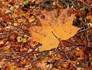 herbstliches Ahornblatt - Herbst, herbstlich, bunt, Laub, Herbstlaub, Abschied, Jahreszeit, Ahorn, Zweig, Ast, Blatt, Blätter, Eindruck, Metapher, Impression, gelb, bunt, einzeln