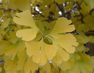 Ginkgoblätter - Ginkgo, Ginko, Silberpflaume, Fächerblattbaum, Fächerbaum, Blatt, Herbst, Färbung, Laub, Baum, Natur, gelb, Fächer, Herbst, herbstlich, bunt, Laub, Herbstlaub, Jahreszeit, Blätter, Eindruck, Impression, bunt, einzeln