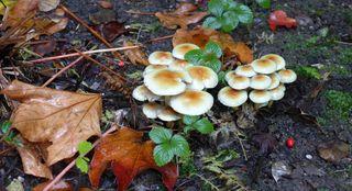 Rauchblättriger Schwefelkopf #1 - Pilz, Lamellen, Blätter, Schwefelkopf, Speisepilz, rauchblättrig, essbar